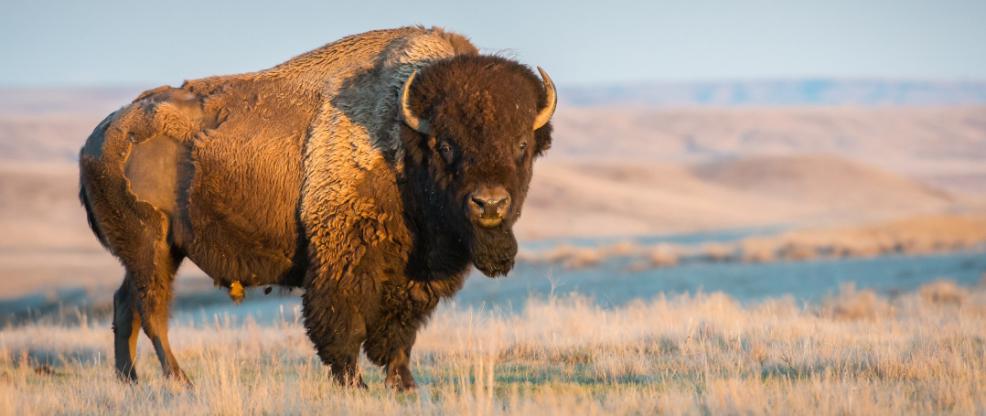 Buy canadian bison - noble premium bison